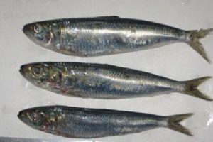 Sabah Frozen Whole Round Herring Sardine Fish