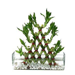 Pyramid Bamboo Plant