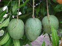 Indian Mango