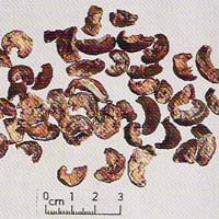 Emblica Officinalis