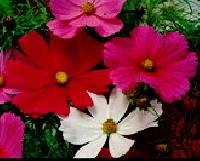 Cosmos Sensation Flower Seeds