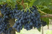 Fresh Table Grapes