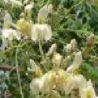 Herbal Moringa Seed