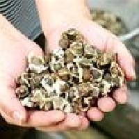 Hybrid Moringa Seed