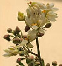 Pkm1 Moringa Oleifera Seed