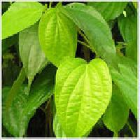 Betel Leaf Oil