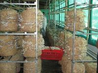 Dry Oyster Mushroom 03