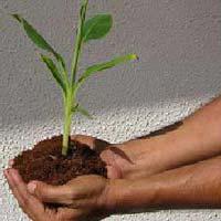 TC Raised Banana Plants (BHIM)
