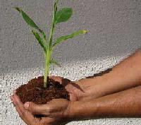 Tc Raised Banana Plants