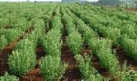 Stevia Plants