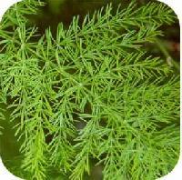 Shatavari Asparagus Racemosus
