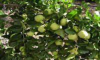 Jujube Fruit