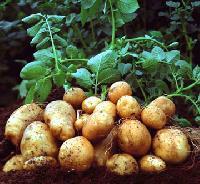 Potato Seeds