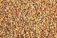Barley Grain Seeds