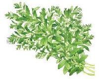Stevia Plant