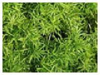 Satawari Dry Extract