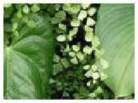 Shilajit Dry Extract