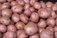 Red Potato (lr) Potato