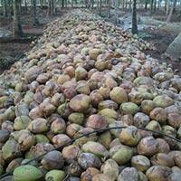 Global Gap Certified Coconuts