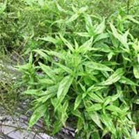 Organic Kalmegh Leaves (Organic Andrographis Paniculetta Leaves)