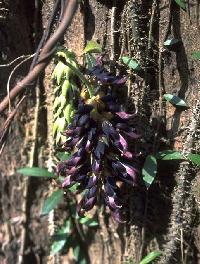 Mucuna Bracteata Seeds