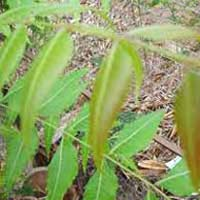 Neem Leaves, Azadirachta Indica Leaves
