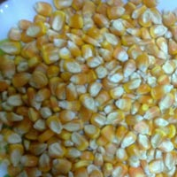 Corn, Maize, Indian Yellow Corn