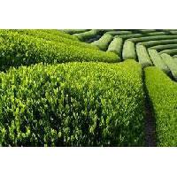 Green Tea Extract 50%,60%,70%polyphenols