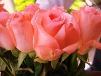 Noblesse Rose