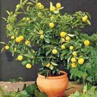 Citrus Bonsai Tree