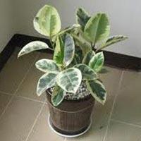 Ficus Elastica Variegata Plant