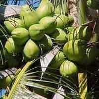 Malayan Green Coconut Plants