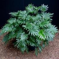 Philodendron Xanadu Tissue Culture Plant