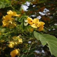 Cassia Glauca