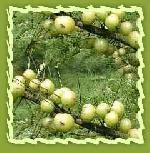 Herbal Amla
