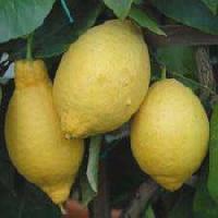 Fresh Citrus Lemons