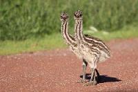 Emu Birds,  Emu Chicks, Emu Oil