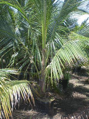Chennangi Coconut Plant