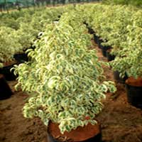 Ficus Starlight Plants