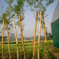Golden Bamboo Plants