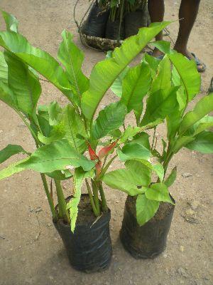 Heliconia Jamaica Plant