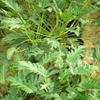 Philodendron Xanadu Plants