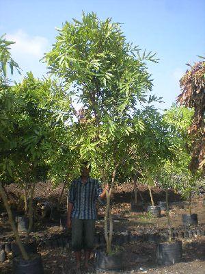 Saraca Asoca Plant