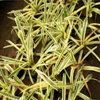 Spider Lily Plants