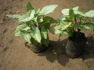 Syngonium Podophyllum Plant