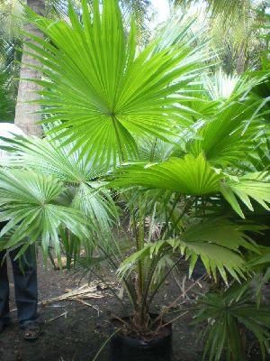 Table Palm Plant