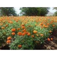 Marigold Seeds Op 4
