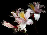 Asalia Herb
