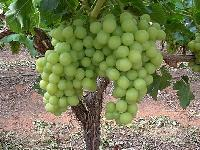 Fresh Thompson Seedless Grapes