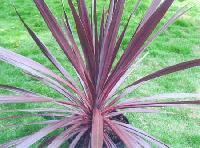 Atropur Cordyline australis Plants